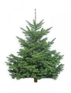 Пихта НОРДМАНА ( Датская елка ) 120-150 СМ
